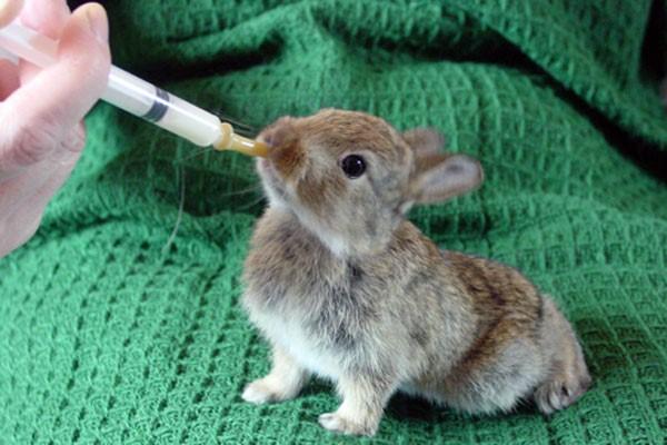 Если Байкокс применяют для лактирующих самок, крольчат переводят на искусственное питание