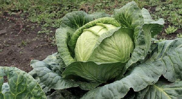 Под зелеными листьями находится белая сочная капустная голова