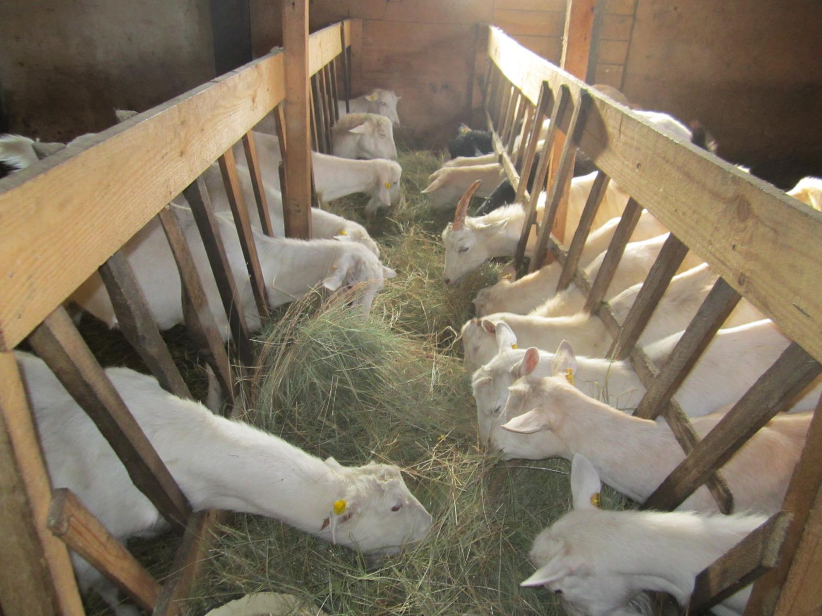 Содержать коз нужно правильно