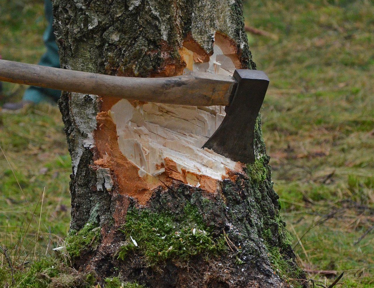 За вырубку деревьев есть штрафы