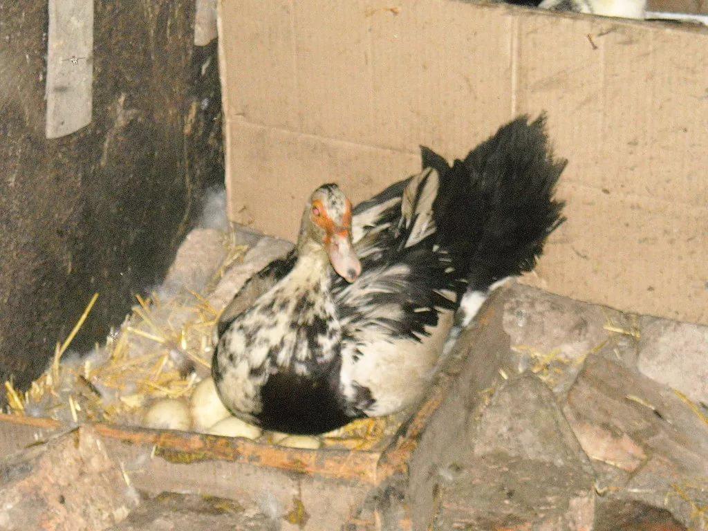 Гнездо выбранное уткой