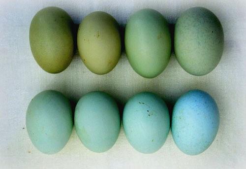 Яйца с голубой и зеленой скорлупой