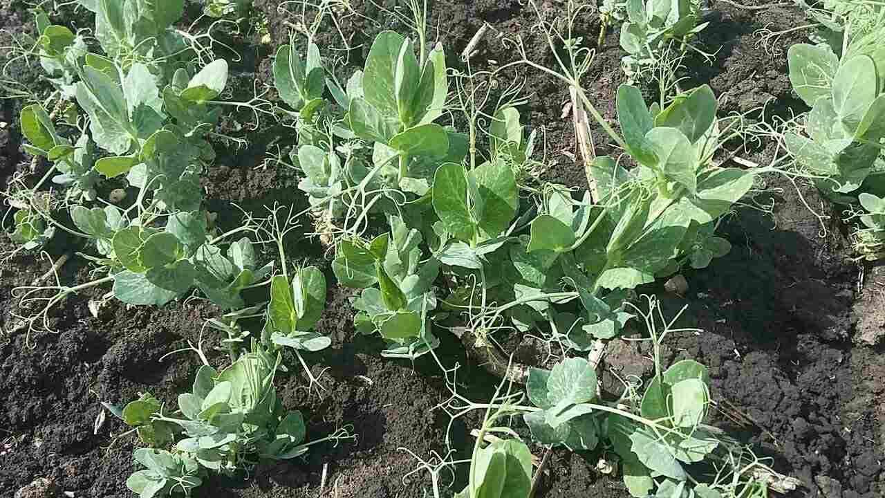 Листья гороха - заменят салат