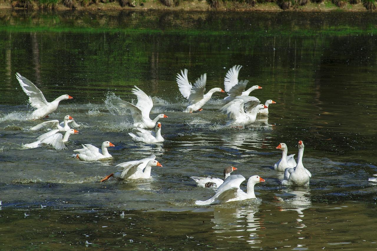 Перед ощипыванием птиц рекомендуется выпустить на водоем
