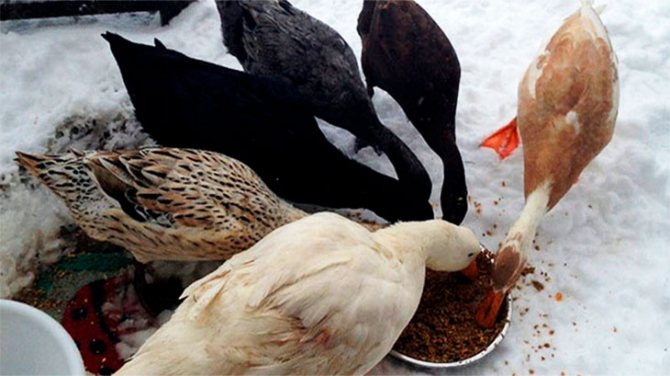 Мешанка для гусей