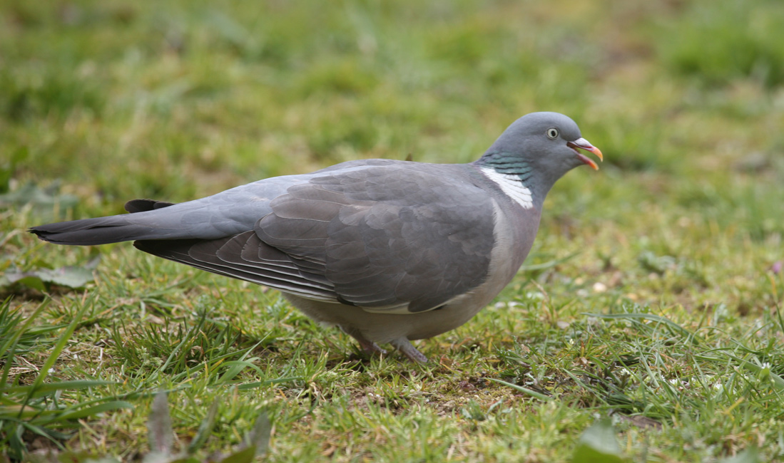 Дикий голубь - разносчик паразитов