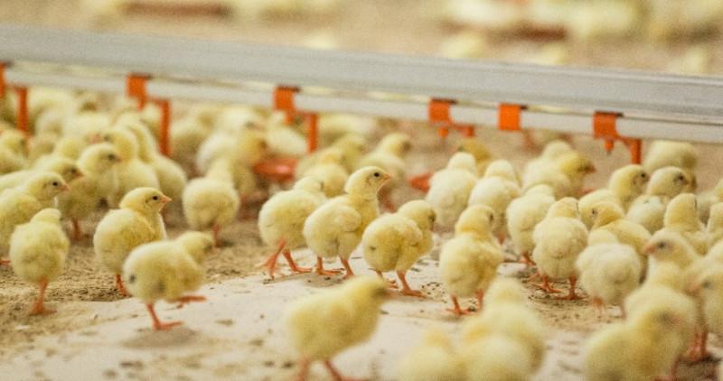 Цыплята на птицеводческом комплексе
