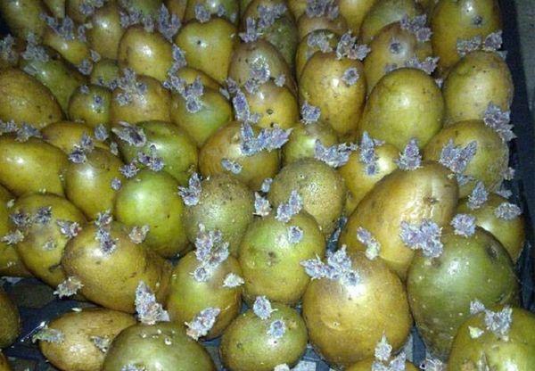 Зеленый картофель проращивают