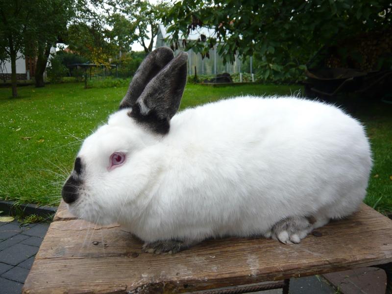 Калиорнийцы и горностаевые кролики очень похожи