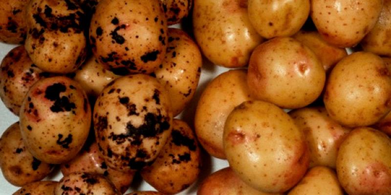 Трудно  спутать здоровый и больной картофель