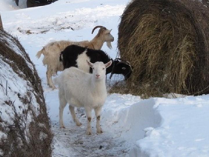 Сено в рационе коз