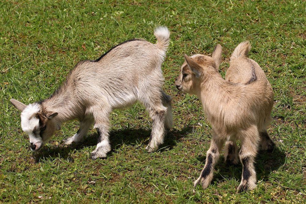 Козлят кастрируют до возраста в 14 суток