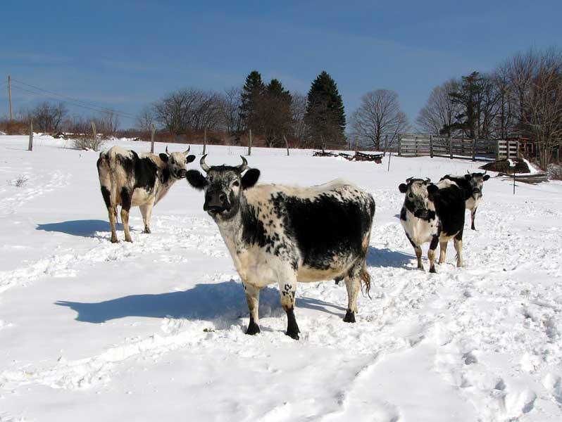 Выгул коров в зимнее время