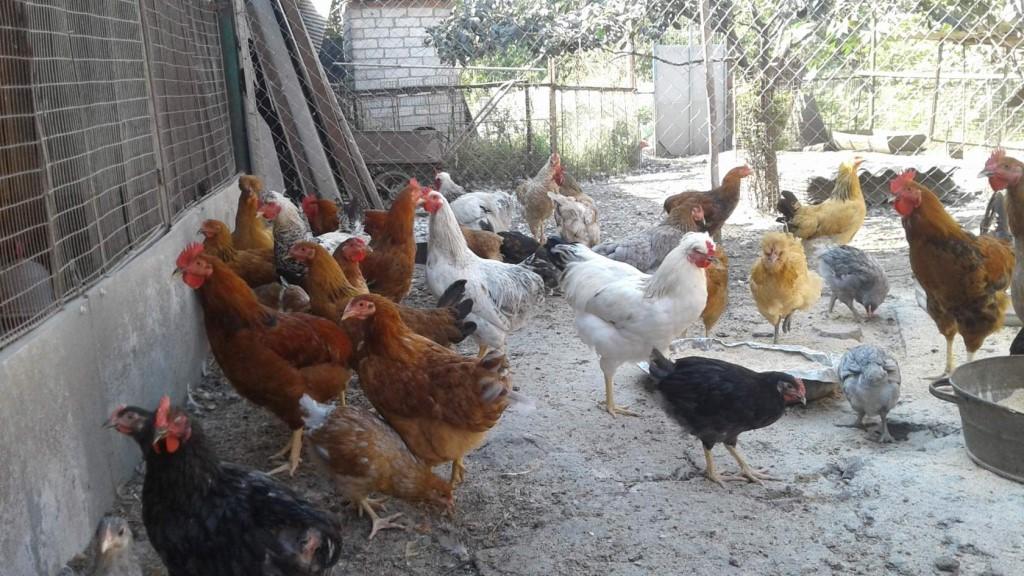 Молодняк кур может нести яйца с двумя желтками