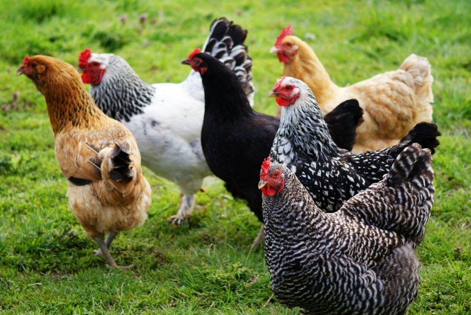 Птицеводы отдают предпочтение универсальным породам