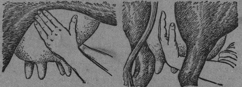 Проведение массажа перед доением