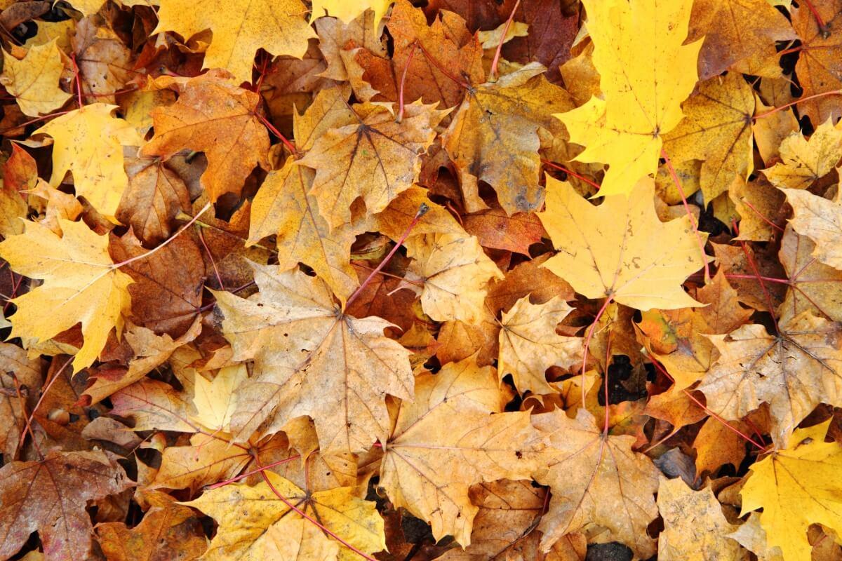 Опавшие листья - хорошее укрытие для слизней