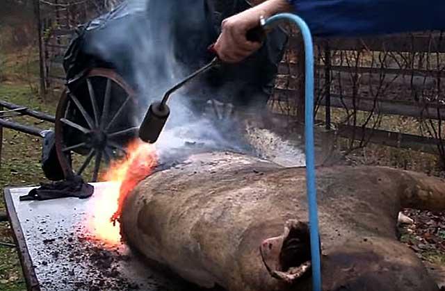 Опаливание свиной туши