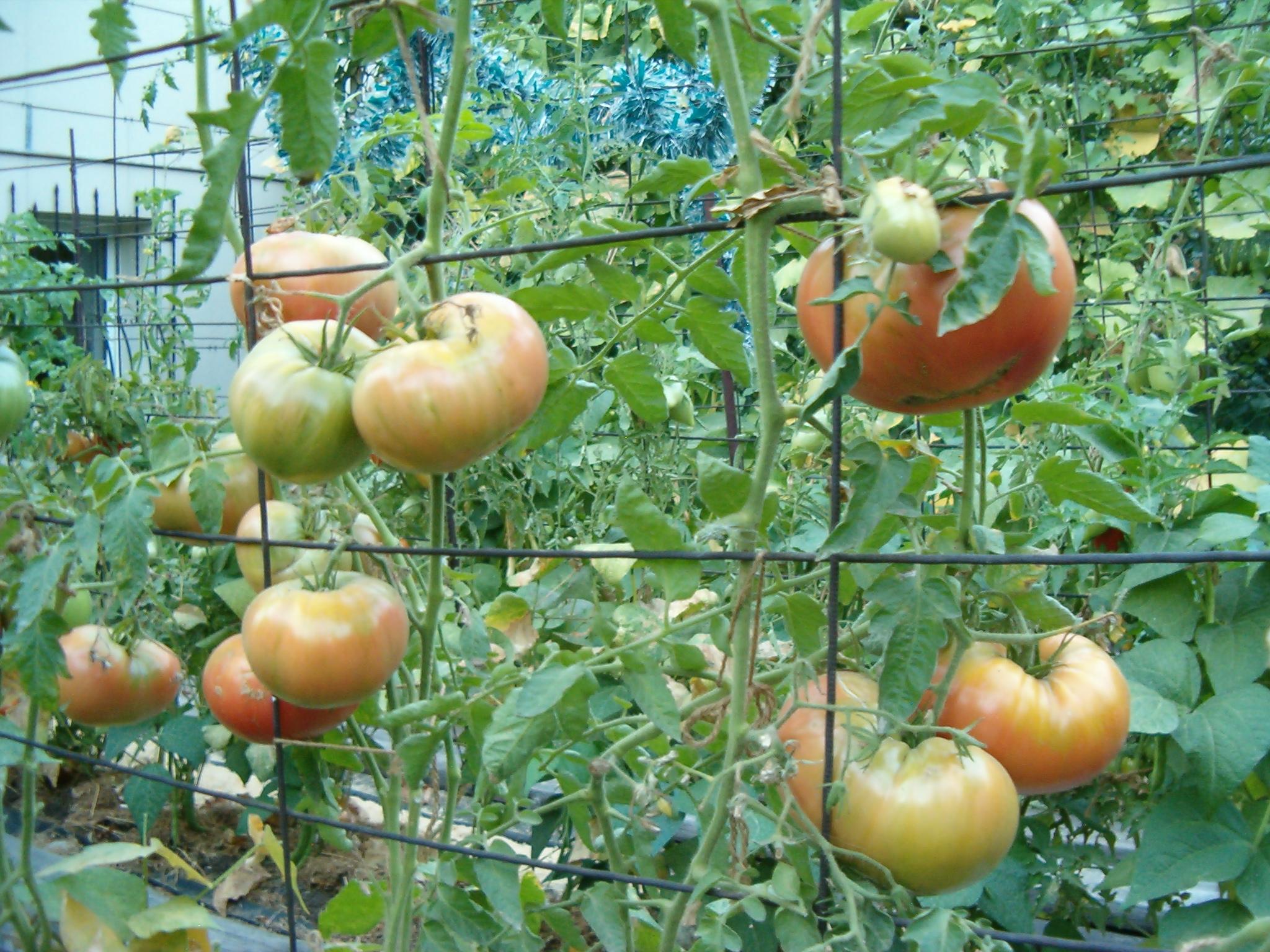 Некоторым сортам томатов подвязка необходима