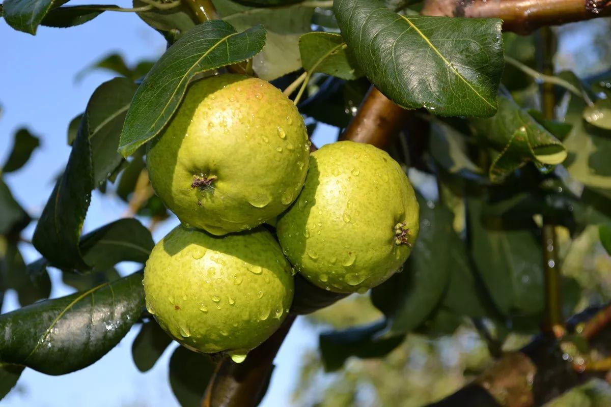 Время сбора поздних фруктов