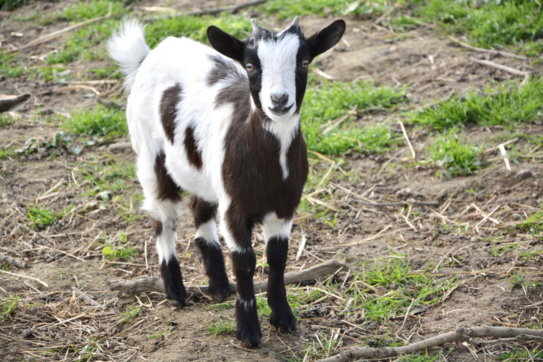 Ранняя случка коз может навредить животному