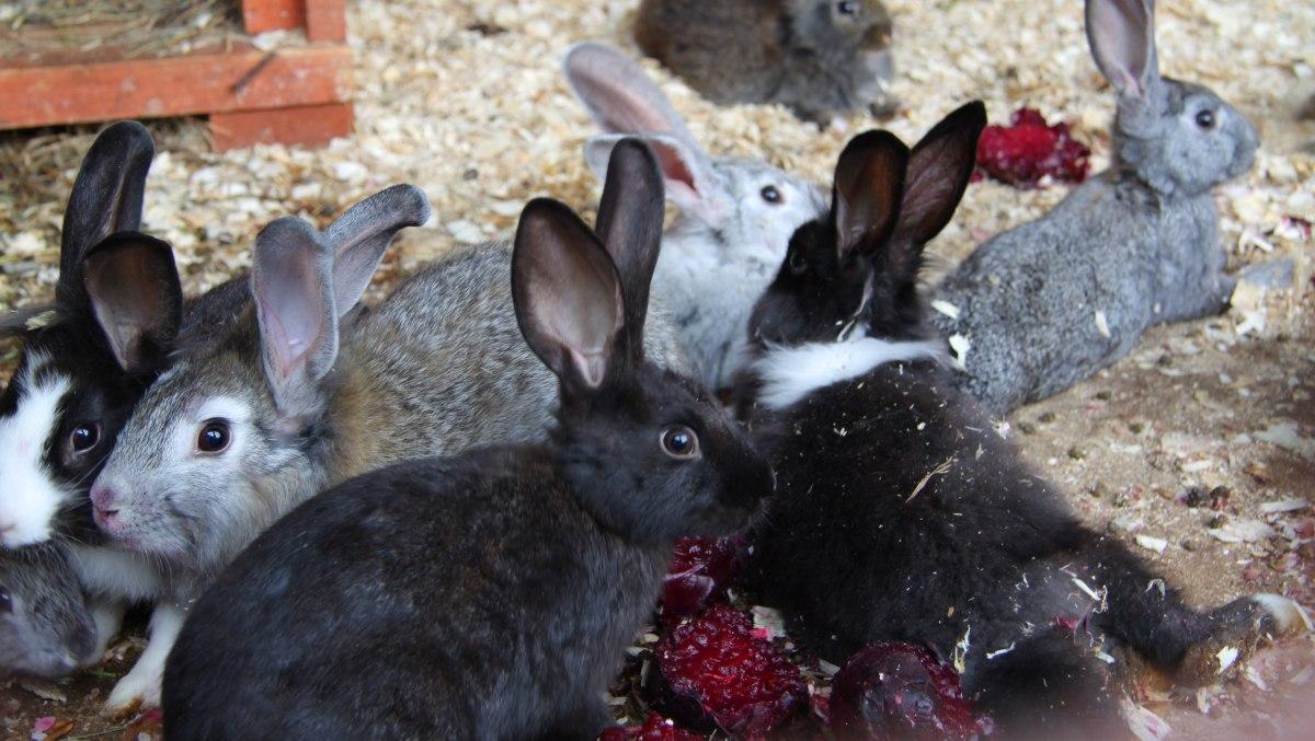 Кролики едят свеклу