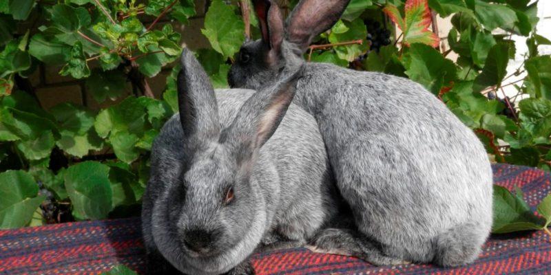 Кролики серебристой породы