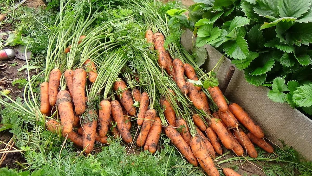 Пора убирать морков и не только