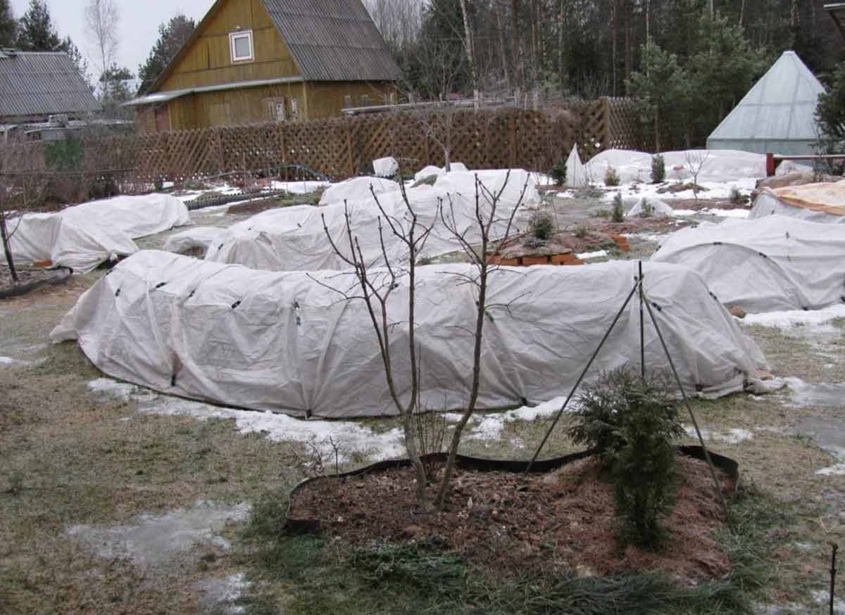 Раннее укрытие повредит растениям