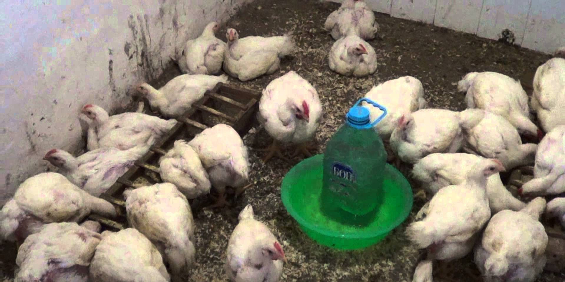 Цыплят приучают к чесноку постепенно