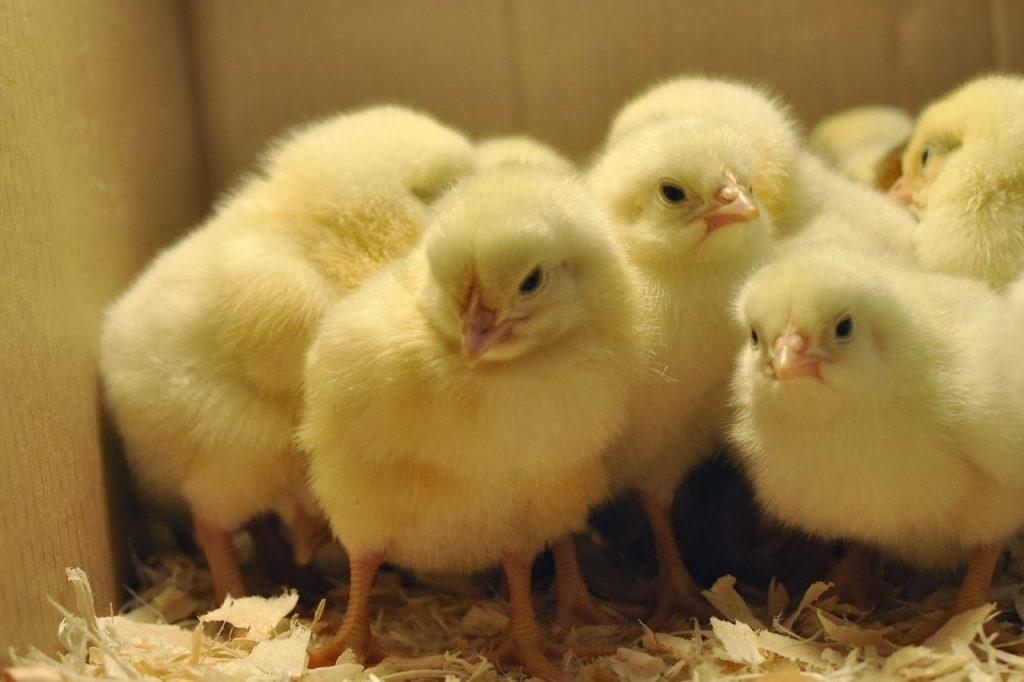 Пора подумать о цыплятах