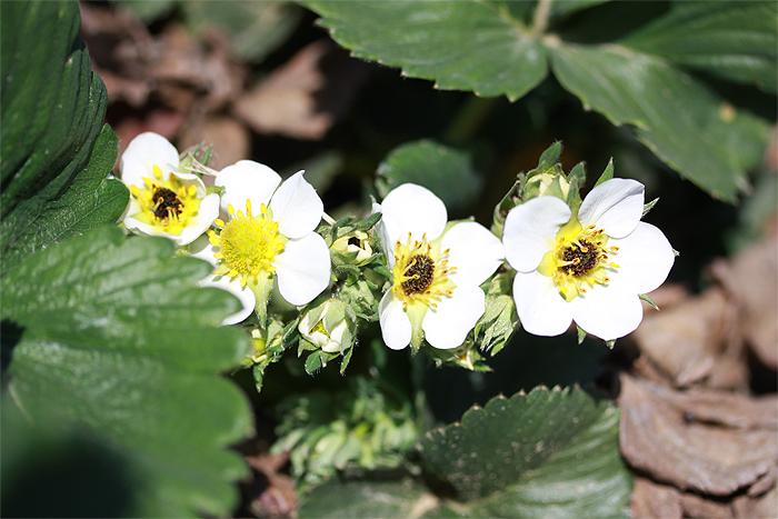 Почернение сердцевины цветка