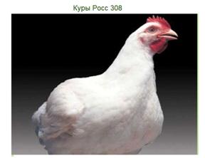 Гибрид Росс-308