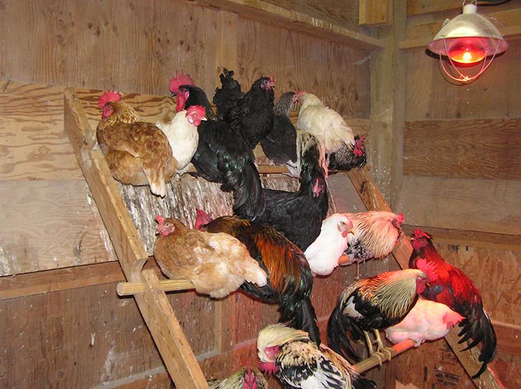 Пример содержание кур