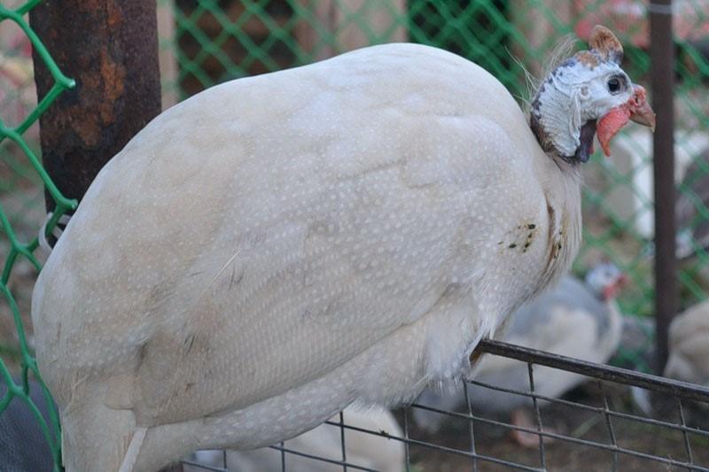 Сибирская белая порода