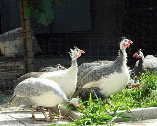 Цесарки загорские белогрудые