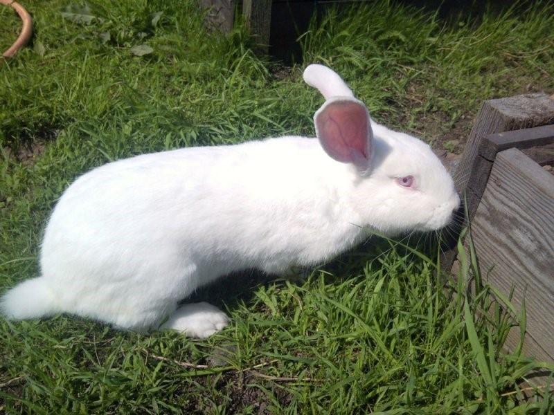 Кролики этой породы очень любопытны