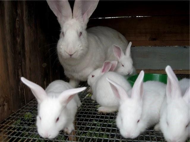 Крольчиха с потомством в клетке