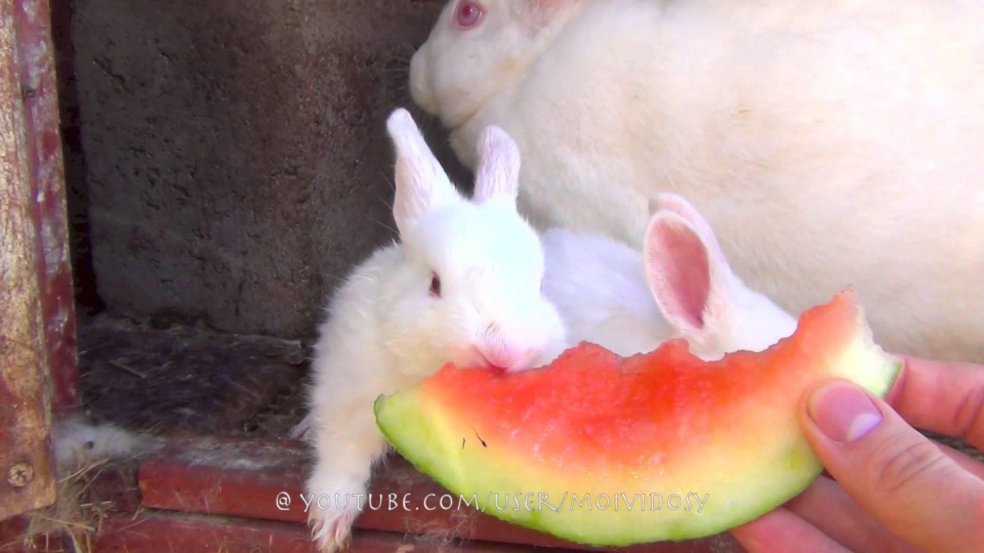 Арбуз также полезен для кроликов и их потомства