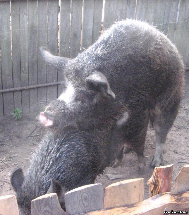 Черные свиньи породы мангал