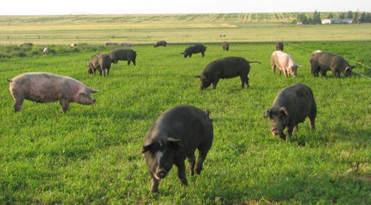 Использование свиньями пастбищных угодий