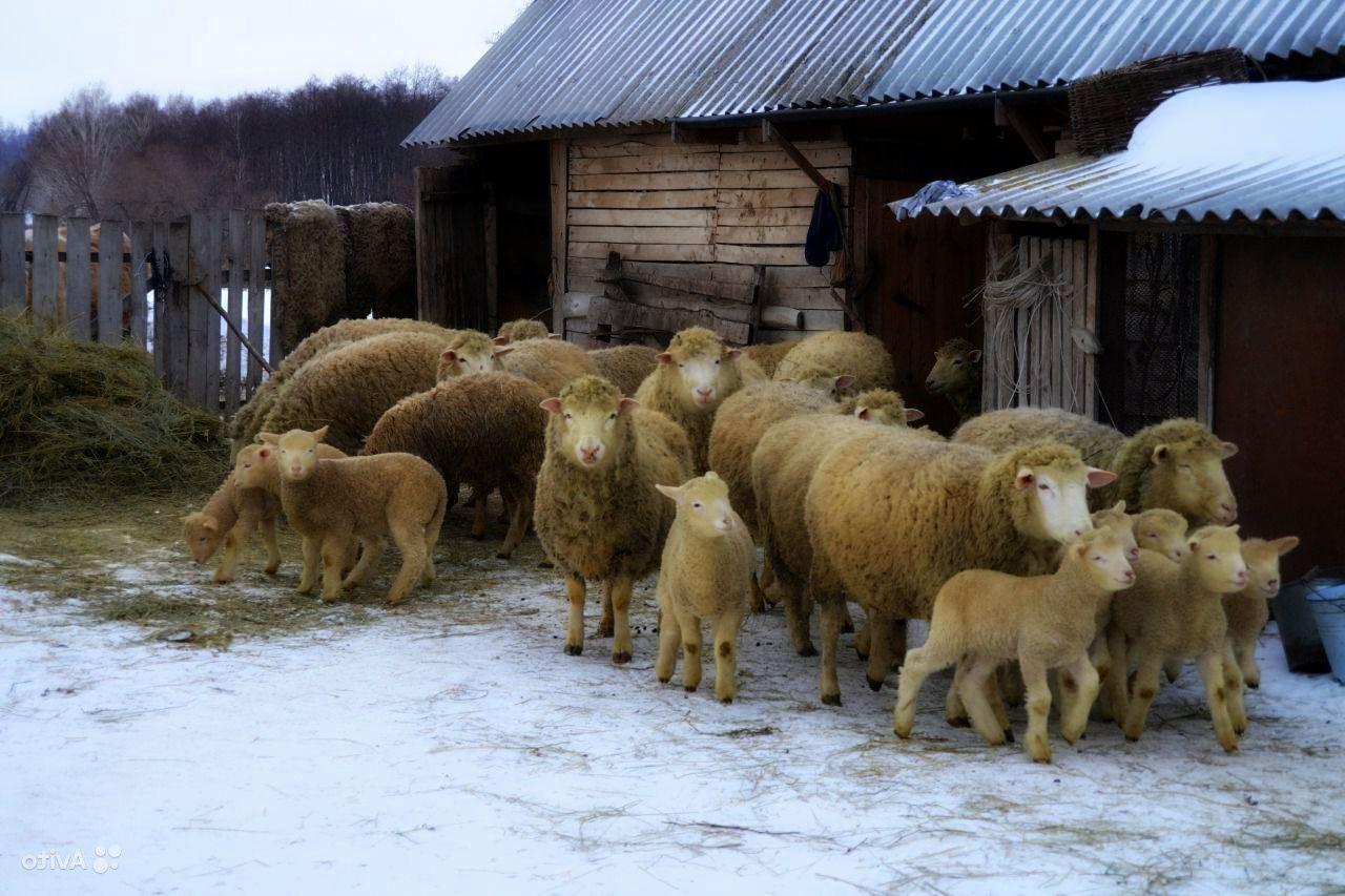 Стадо куйбышевских овец с потомством