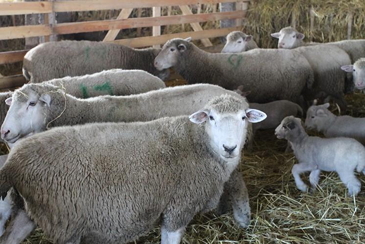 Куйбышевские овцы с приплодом в помещении