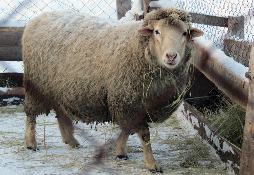 Овца этой породы