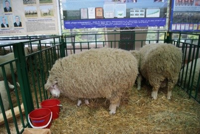 Овцы в стойле