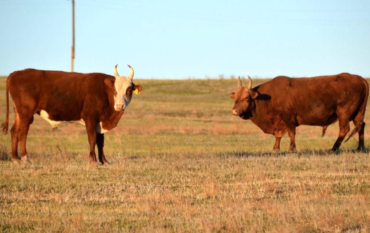 Калмыцкие быки
