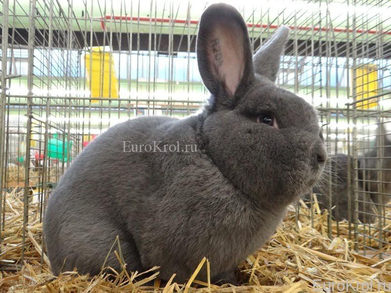 Выставочный экземпляр венского голубого кролика