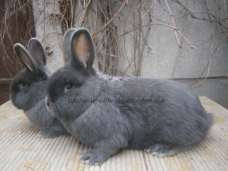 Кролики венские голубые