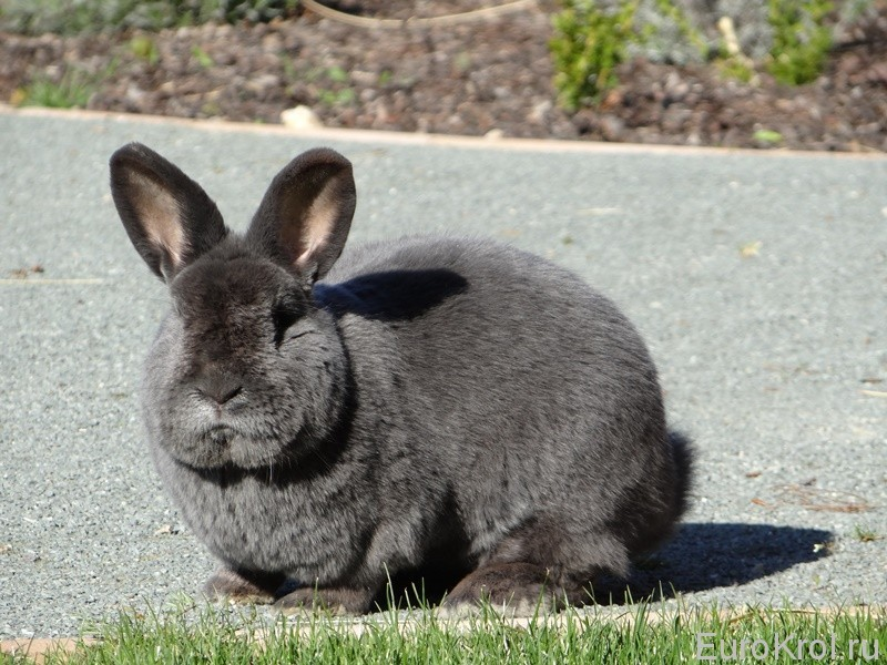 Кролики этой породы в стойке