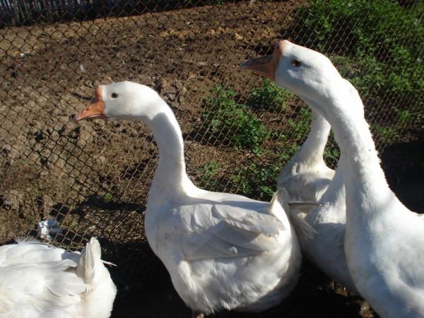 Линдовские гуси на выпасе